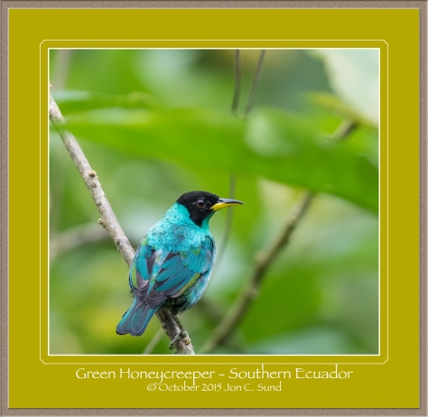 Green Honeycreeper  sitting on a branch