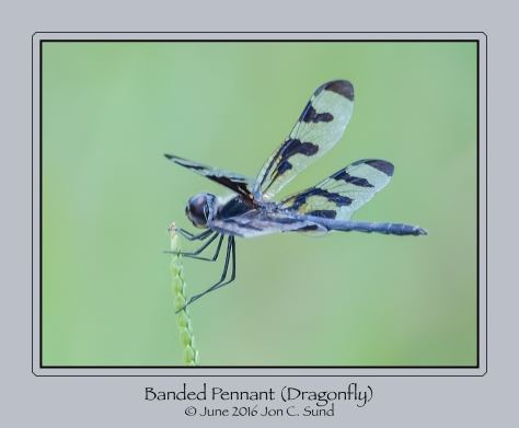 Banded Pennant Dragonfly