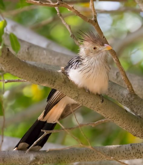 Guira Cuckoo sitting on a tree branch
